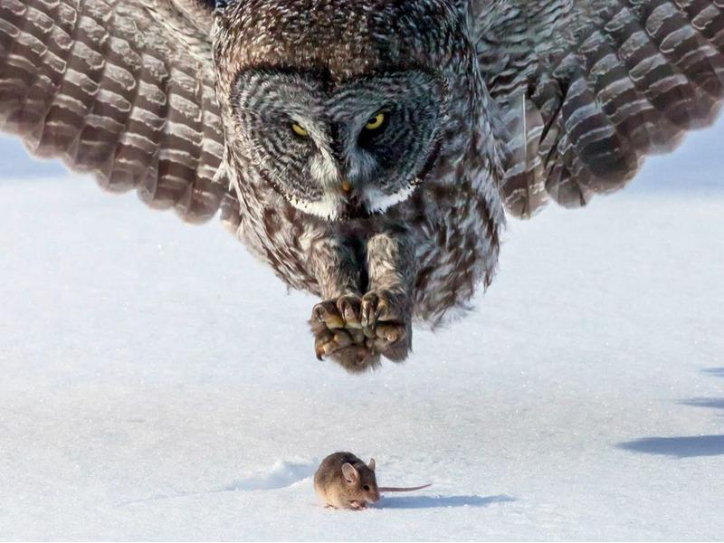 Сова и мышь