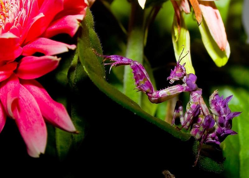 Цветочный богомол Pseudocreobotra wahlbergii