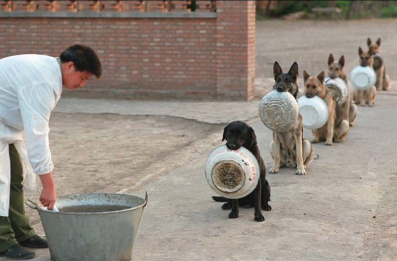 Китайские полицейские собаки ждут обед.