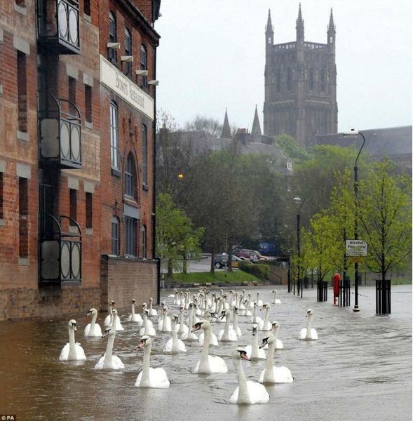 Лебеди плыву по улице после наводнения, Великобритания.