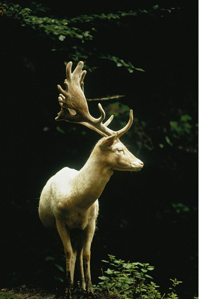 Белый олень в лесу Швейцарии, 1973 Фото: Джеймс П. Блэр