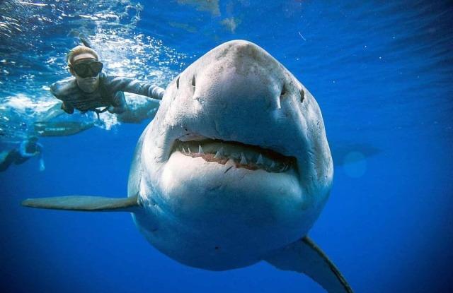 Пловец и одна из самых крупнейших зарегистрированных особей большой белой акулы Deep Blue. Гавайи, США
