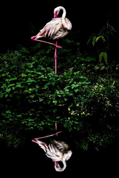 Облачный фламинго, Стайнер Ванг, Тайвань