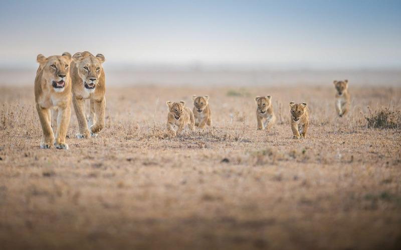 Львята следуют за парой взрослых самок через пустыню Масаи Мару, Кения.