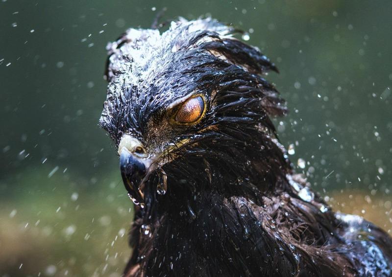 Черный орел принимает душ в Мисьонес, Аргентина.