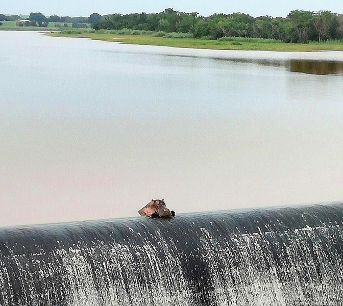 Самка бегемота отдыхает на краю водопада на рекe Комати в ЮАР
