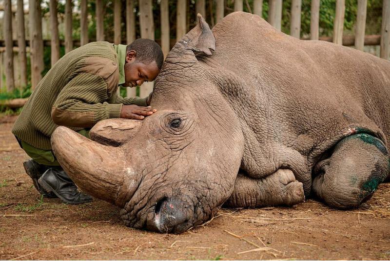 Смотрители прощаются с последним северным белым носорогом.