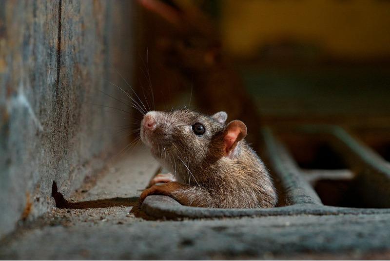 Крыса из подземного Нью-Йорка.