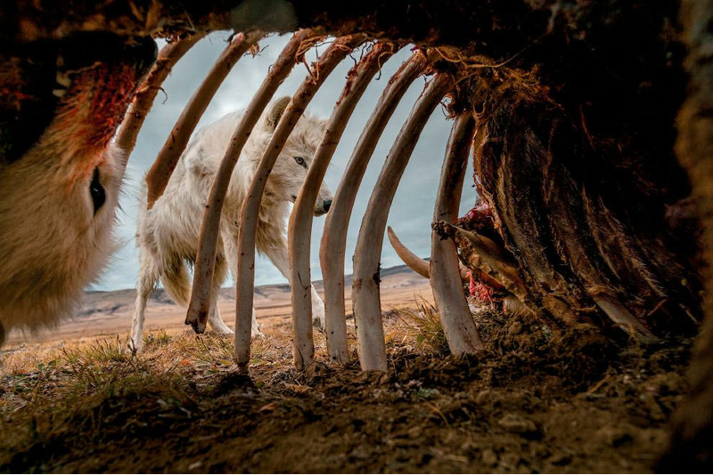 Волки в канадской Арктике исследуют остатки овцебыка.