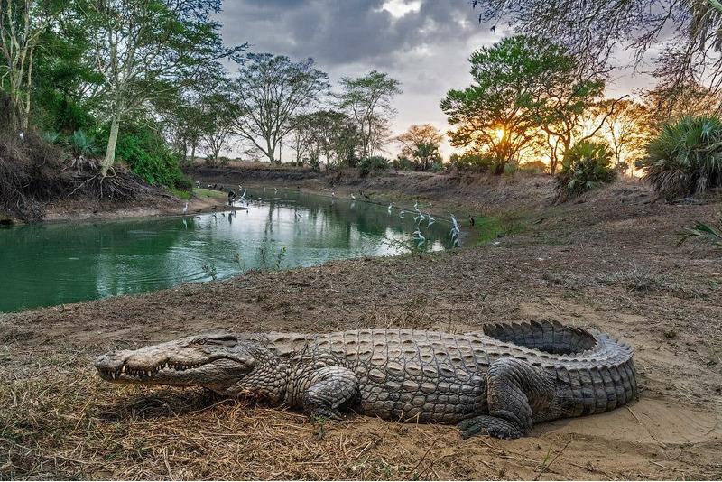 Крокодил отдыхает в Мозамбикском национальном парке.