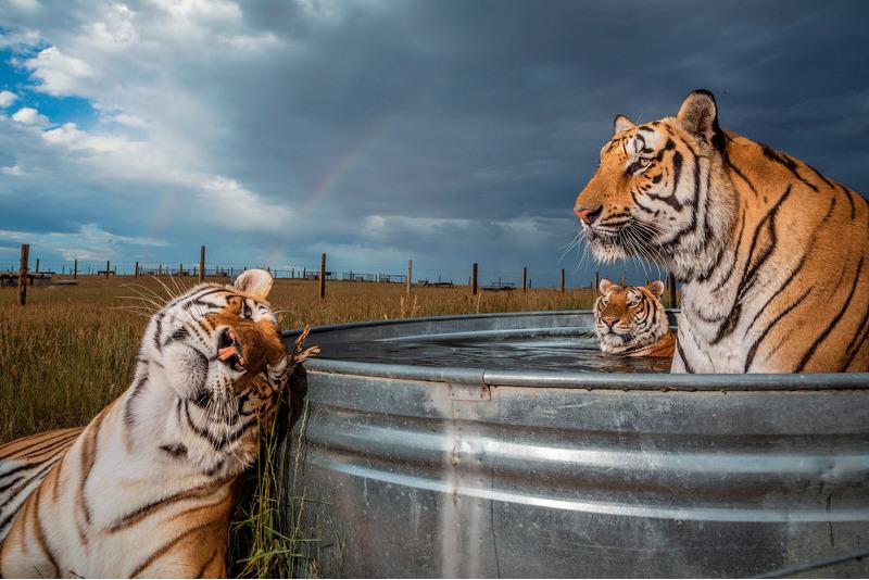 Три тигра в заповеднике диких животных в Кинесбурге, штат Колорадо.