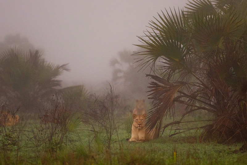 Львы в отдаленном районе зоны дельты Замбезе.