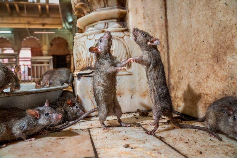 Крысиное танго.