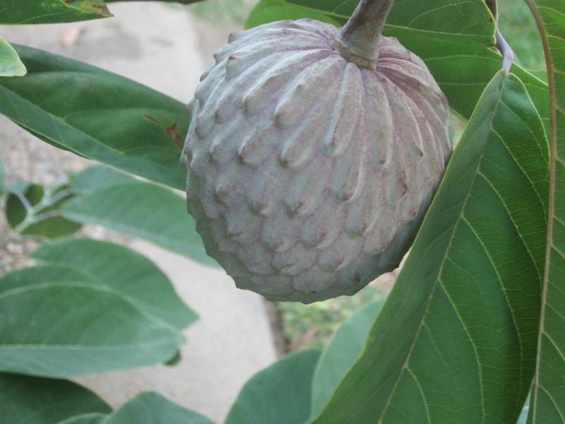 Аннона разнолистная или Илама (Annona diversifolia)
