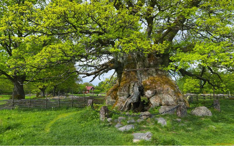 Румскулла старейший дуб Швеции
