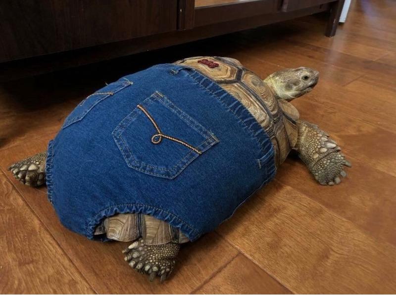 черепаха в шортах
