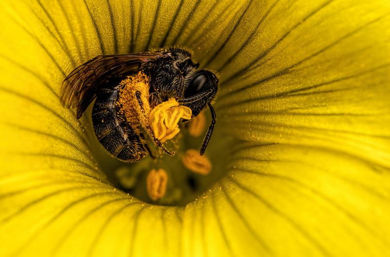 Медоносная пчела в цветке