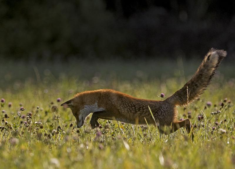 Лиса ловит мышей в траве