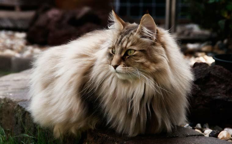 Лесная норвежская кошка