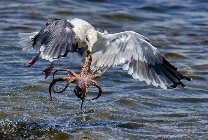Схватка между чайкой и осьминогом