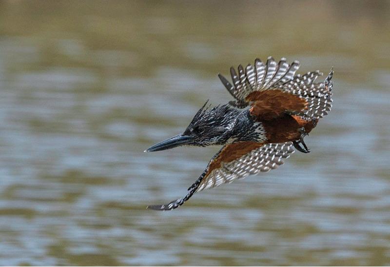 Гигантский пегий зимородок