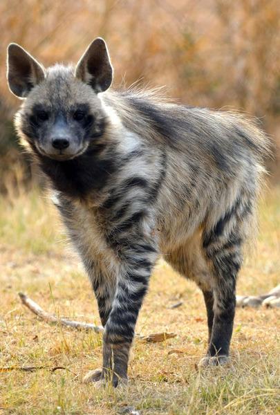 Полосатая гиена