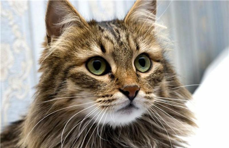 Сибирская кошка