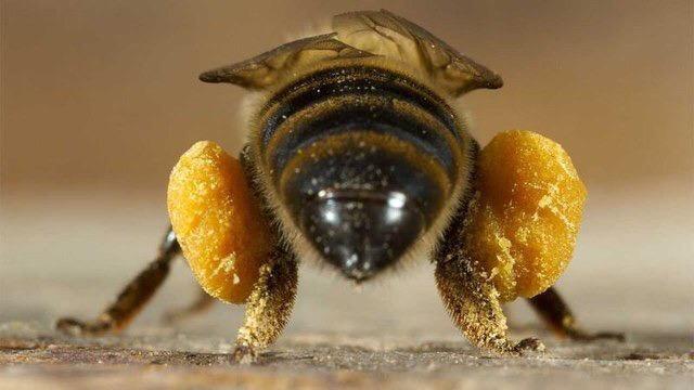 Как пчёлы переносят нектар в улей