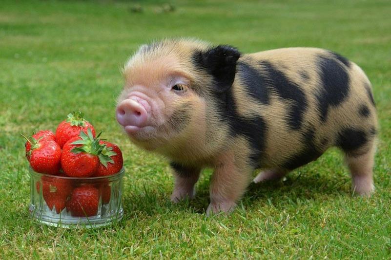 Карликовая домашняя свинья или мини-пиг