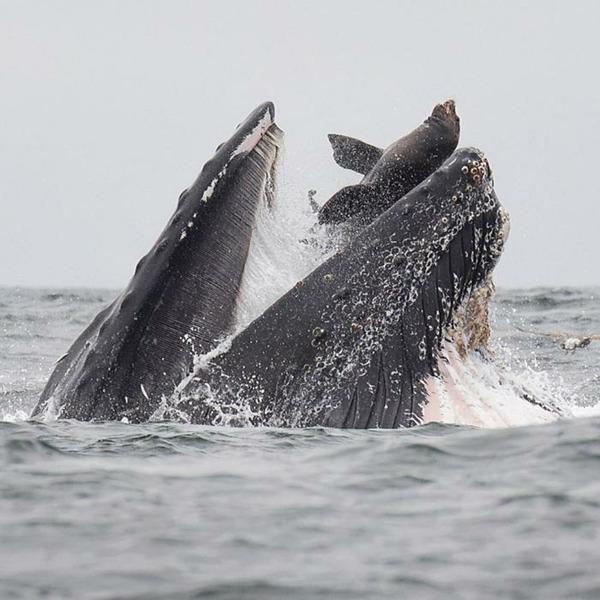 Морской лев в пасти горбатого кита