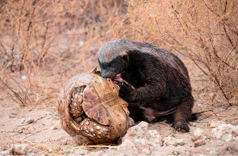 Медоед поймал леопардовую черепаху, Трансграничный парк Кгалагади, Ботсвана.