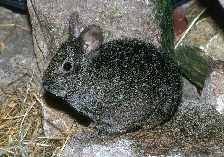 Бесхвостый кролик или вулканический кролик