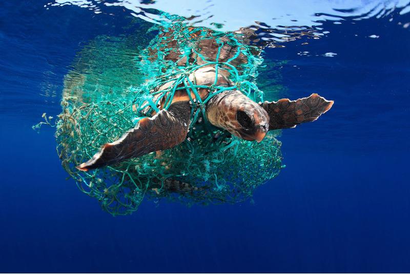 Головастая морская черепаха запутавшаяся в сетях.