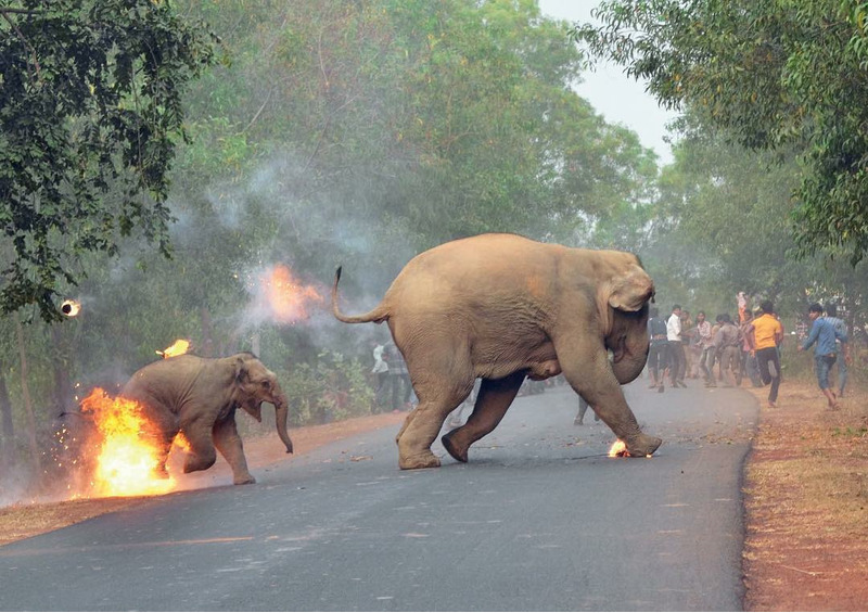 толпа кидает в слонов огненные шары и петарды