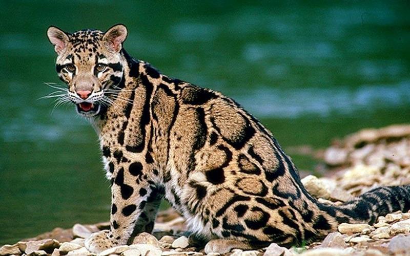 Борнейский дымчатый леопард