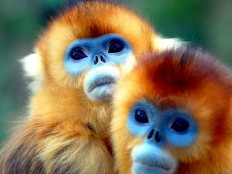 Золотистая курносая обезьяна