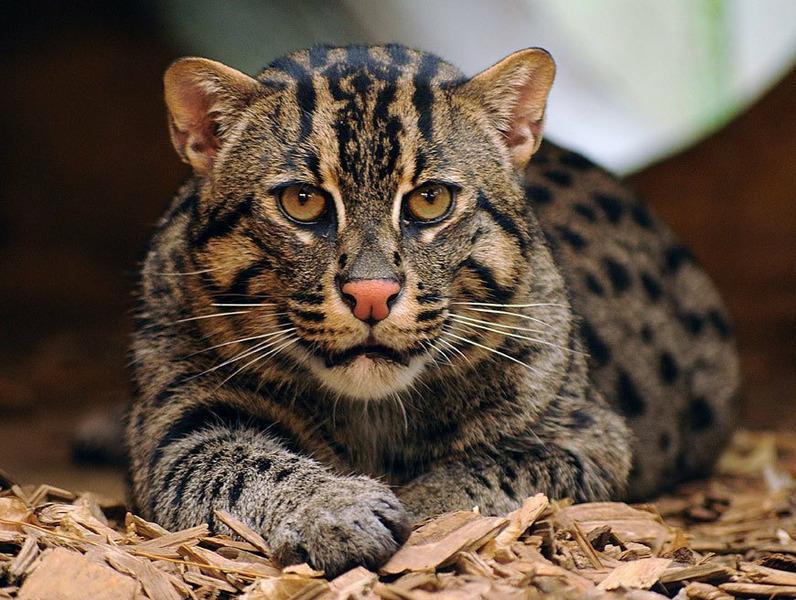 Кошка-рыболов, или крапчатая кошка, или рыбья кошка