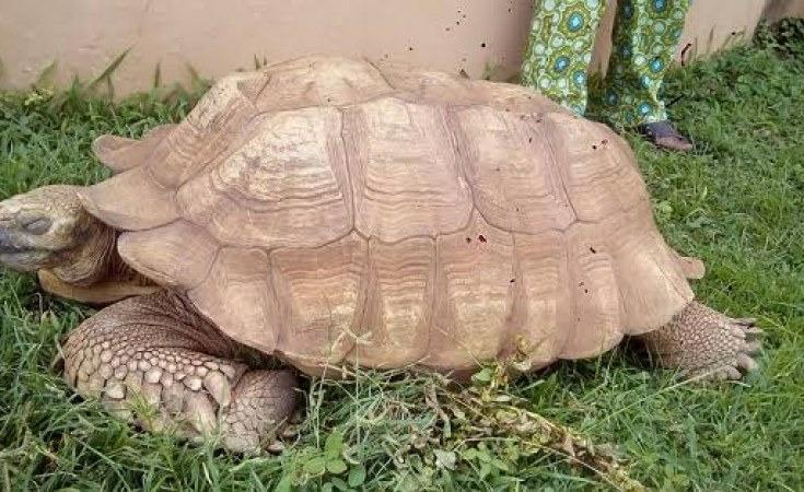 В Нигерии умерла самая знаменитая черепаха Алагба.