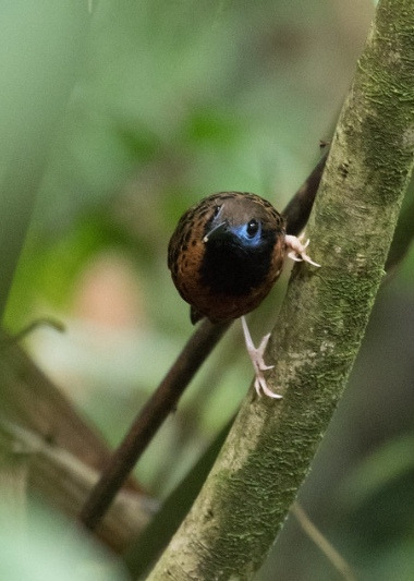 Глазчатая муравьянка