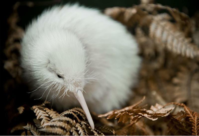 Киви альбинос