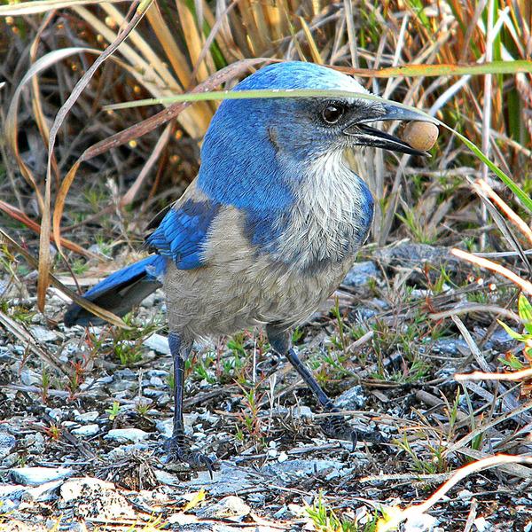 Голубая кустарниковая сойка