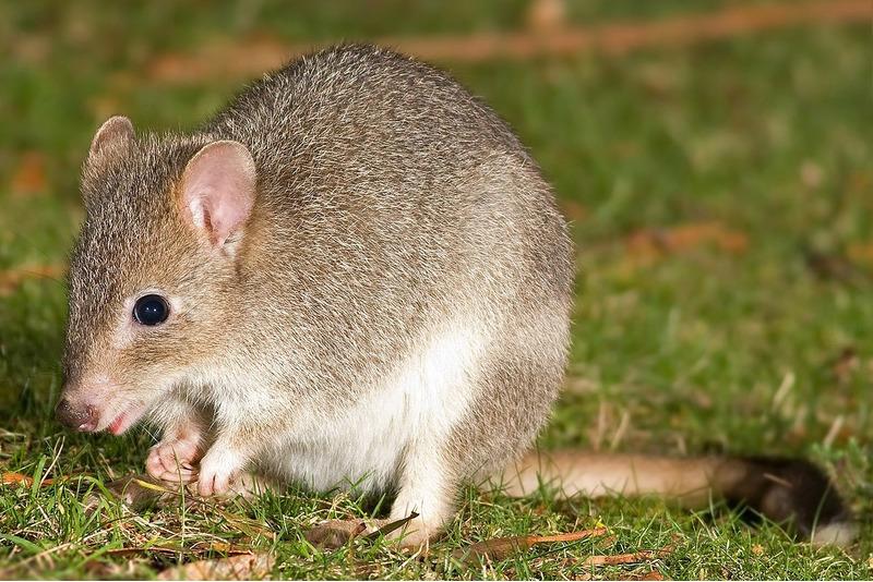 Короткомордые кенгуру или опоссумные крысы