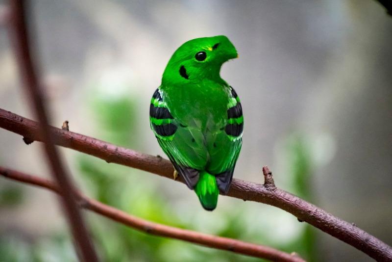 Малый зелёный рогоклюв или зелёная калиптомена