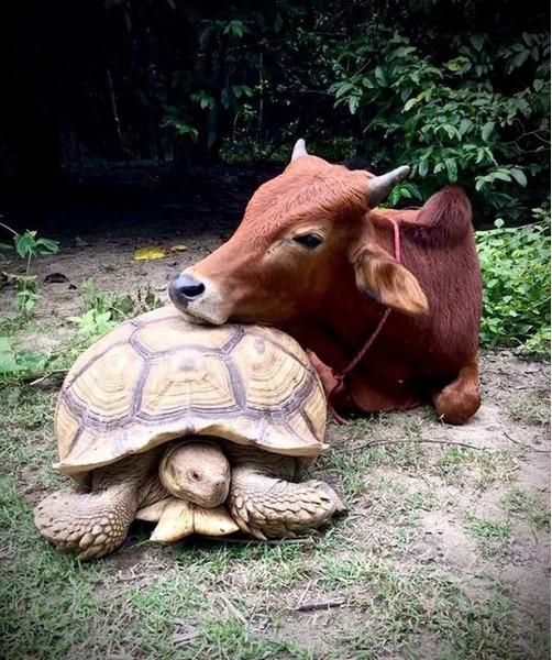 дружба коровы и черепахи