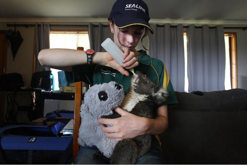 Раненая коала.