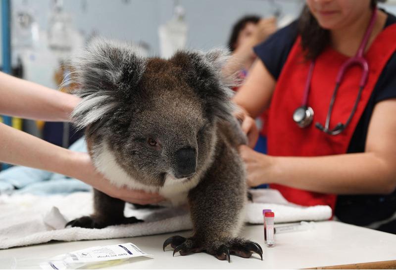 Коала лечится у ветеринара в Аделаиде, Австралия, 8 января 2020.