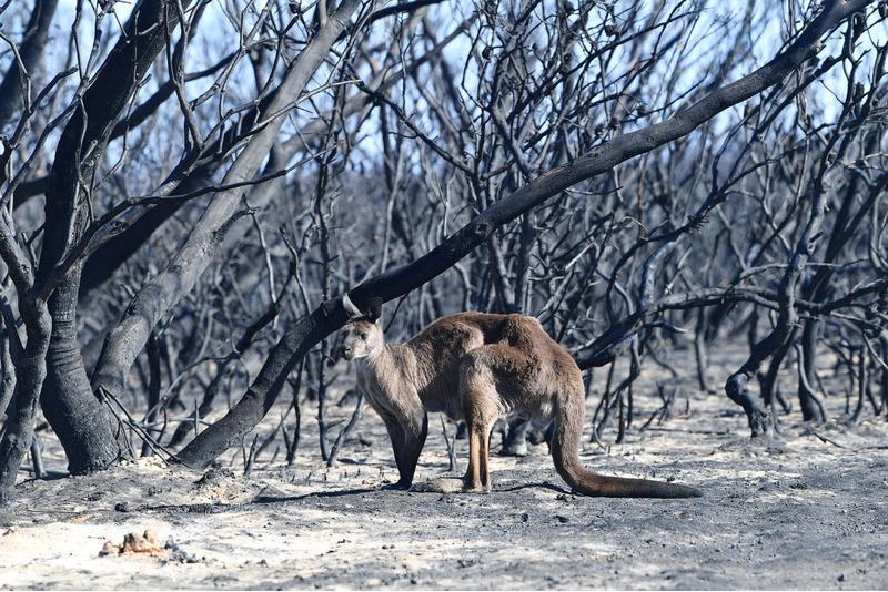 Кенгуру в пострадавшем от лесного пожара