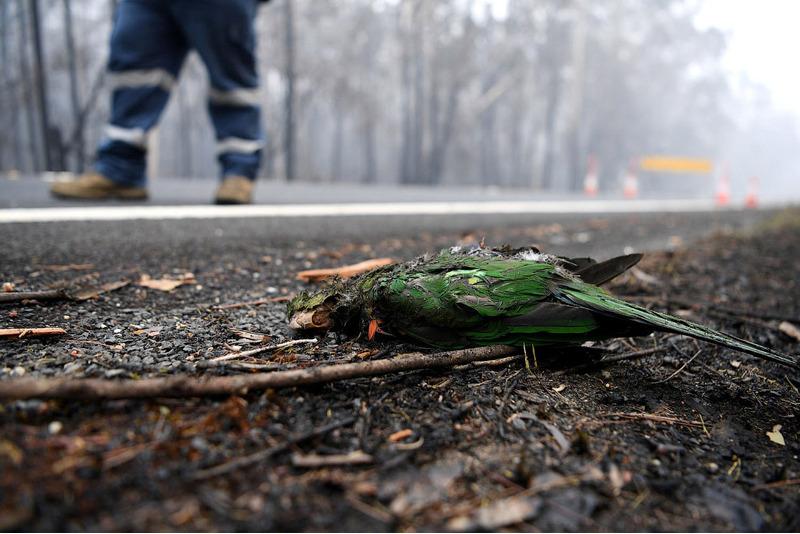 Погибший попугай.
