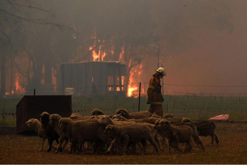 Пожарные перегоняют домашних животных в безопасное место