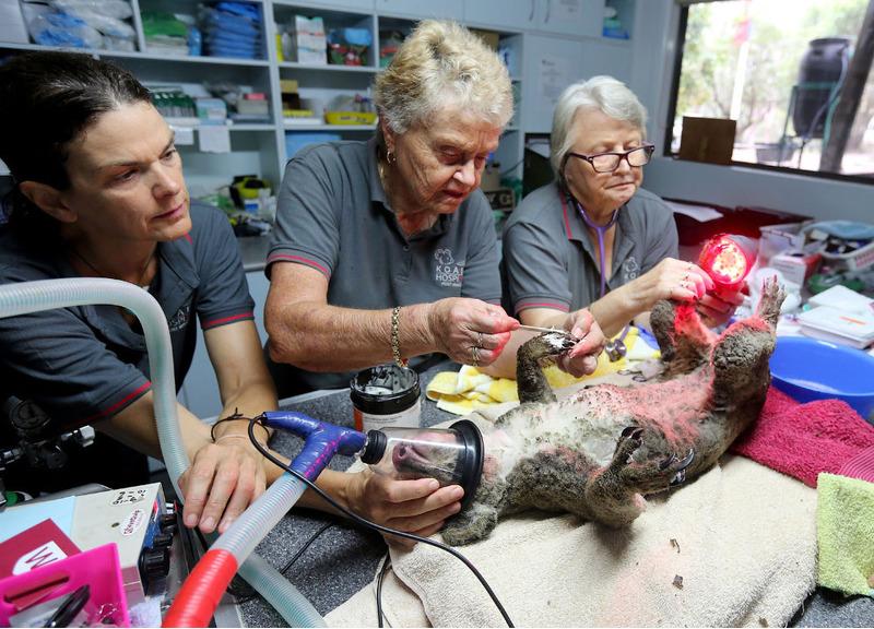 Операция в ожоговом центре. Пациент — коала.